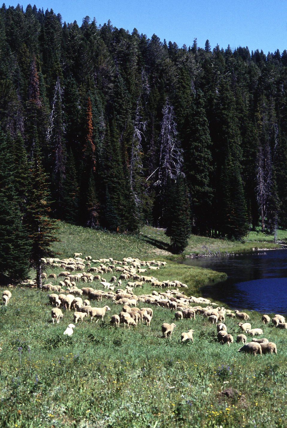 Sheep grazing by a lake : Free Stock Photo