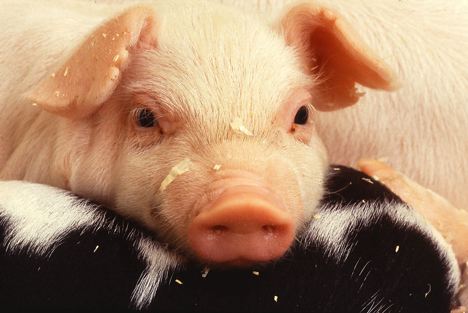 Close-up of a baby piglet : Free Stock Photo