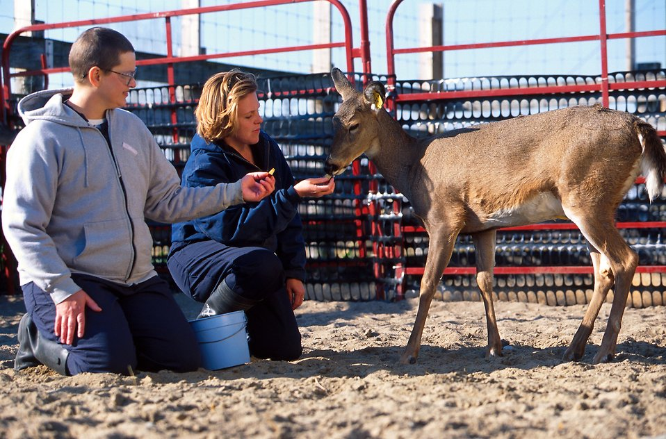 Researchers offering to treat a white-tailed deer on a farm : Free Stock Photo