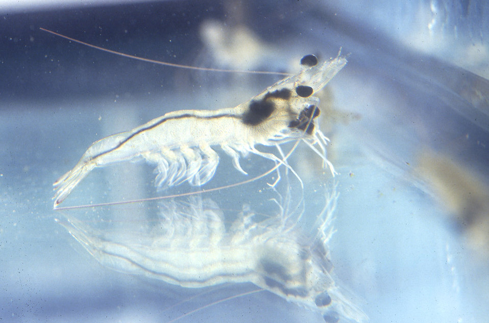 Close-up of a young shrimp (Penaeus Vannamei).