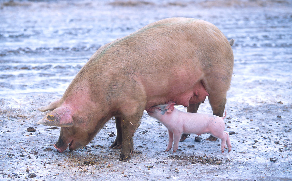 A piglet nursing from a sow : Free Stock Photo