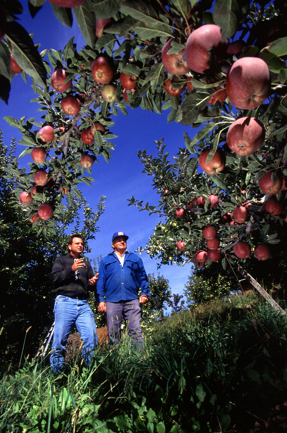 Farmers looking at a crop of apples : Free Stock Photo
