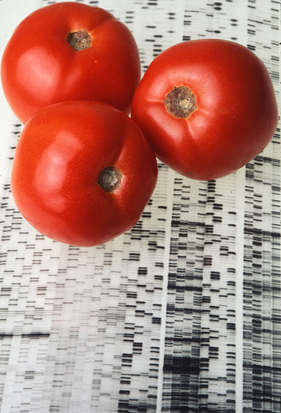 Endless Summer tomatoes on a gene map : Free Stock Photo
