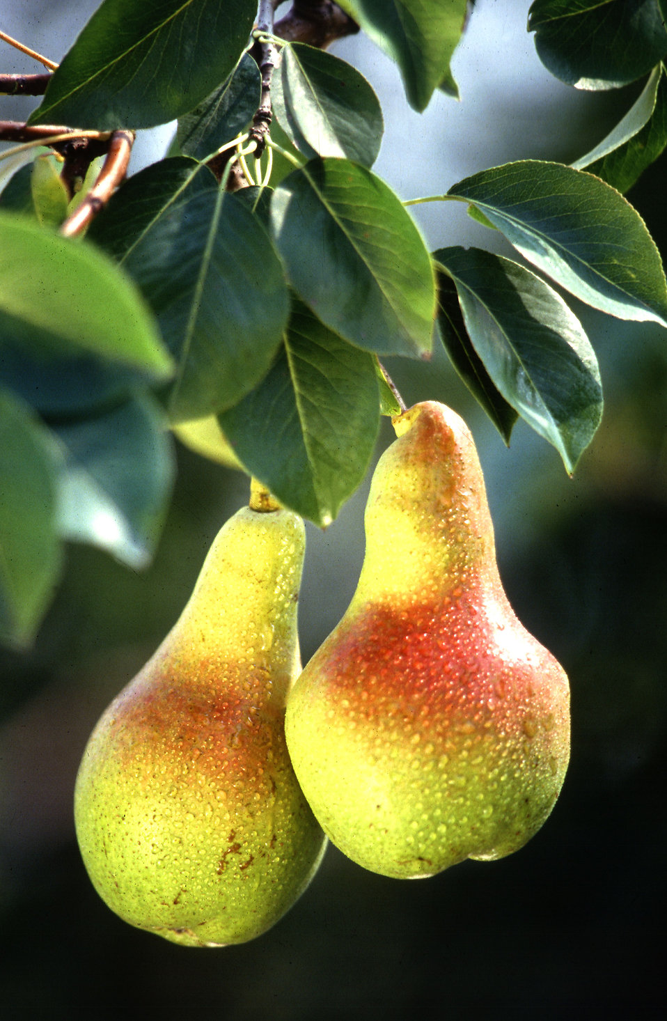 A pair of pears growing on a tree : Free Stock Photo