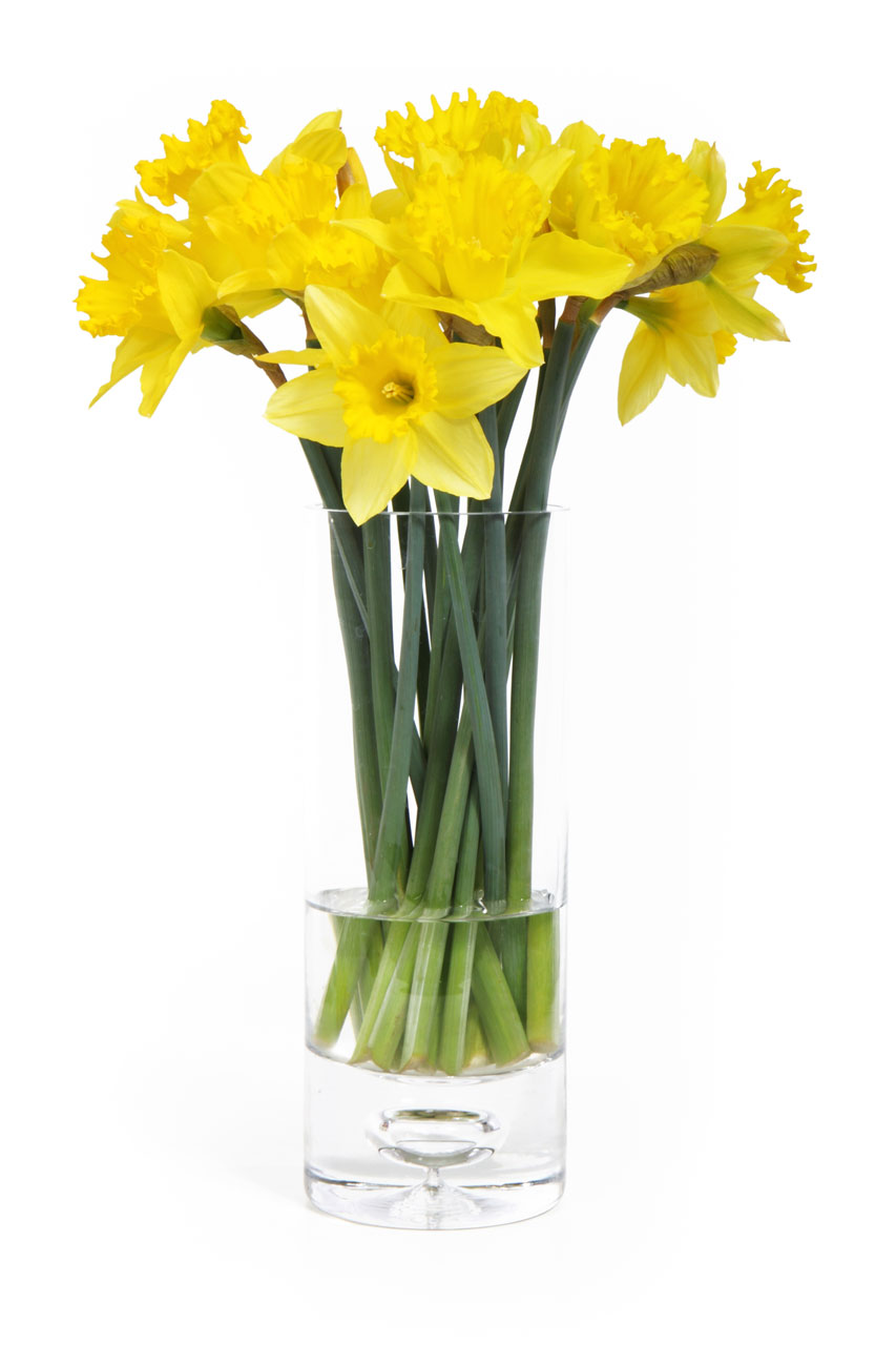 Yellow daffodils in a vase isolated on a white background : Free Stock Photo