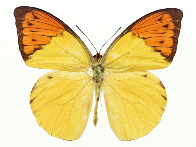An orange and yellow butterfly isolated on a white background : Free Stock Photo