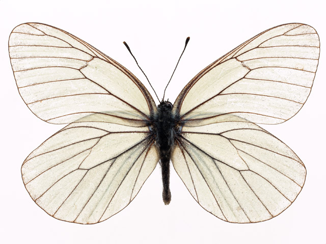 A white butterfly isolated on a white background.