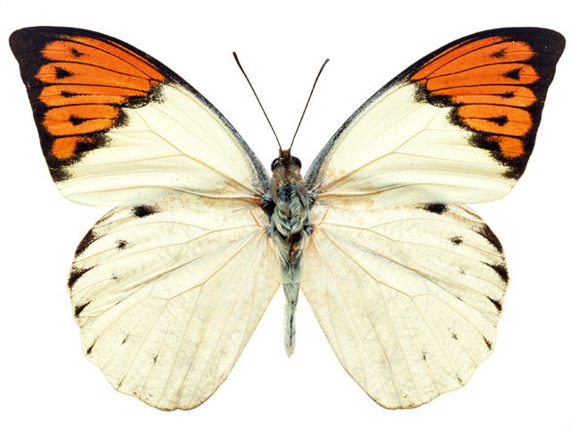 An orange and white butterfly isolated on a white background : Free Stock Photo