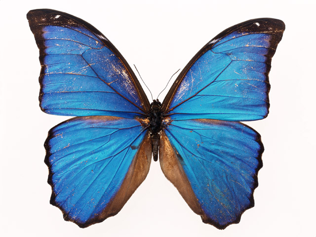 Butterfly Free Stock Photo A Blue Butterfly Isolated On A White
