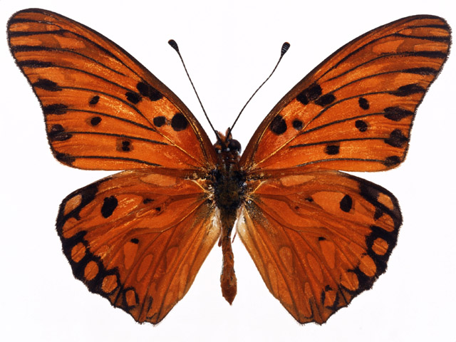 An orange butterfly isolated on a white background : Free Stock Photo