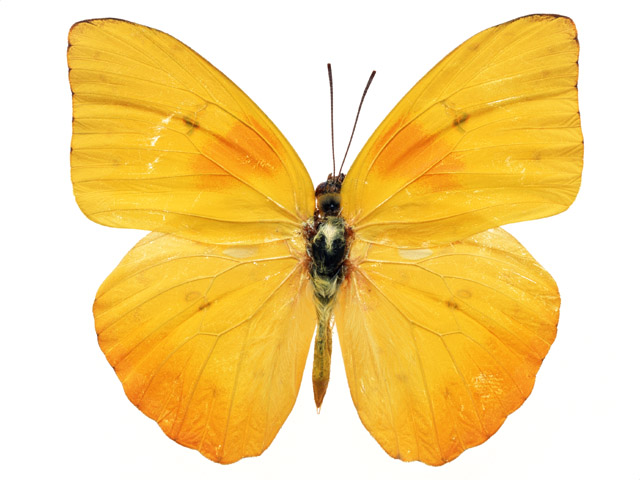 A yellow butterfly isolated on a white background.