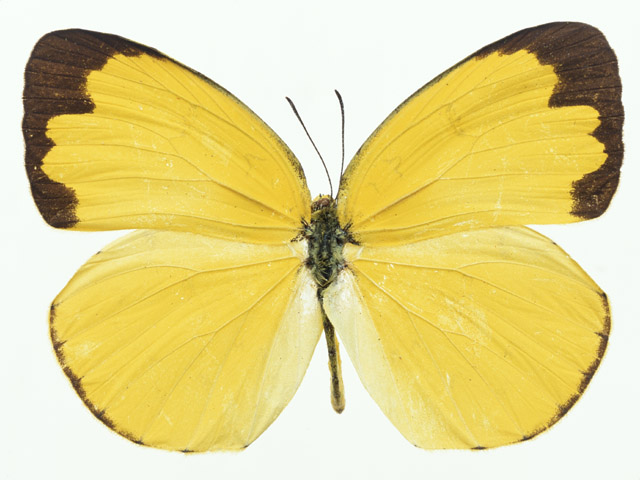 A yellow butterfly isolated on a white background : Free Stock Photo
