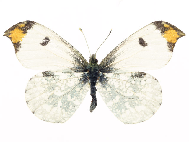 A yellow and white butterfly isolated on a white background : Free Stock Photo