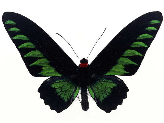 A green and black butterfly isolated on a white background : Free Stock Photo