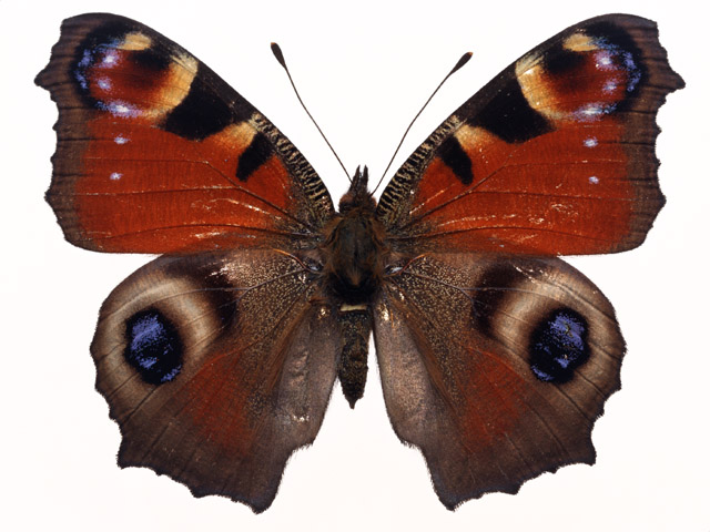 A red and brown butterfly isolated on a white background.
