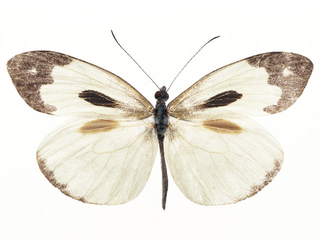 A white and brown butterfly isolated on a white background : Free Stock Photo