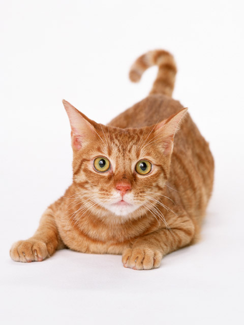 large breeds of domestic cat