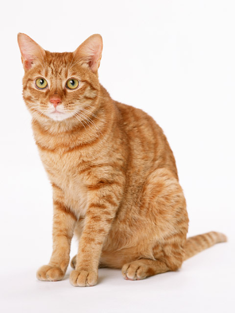 An orange cat isolated on a white background : Free Stock Photo