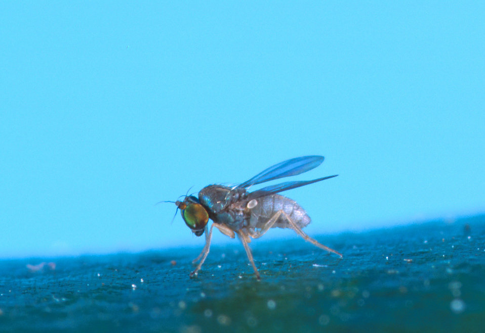 Close-up of a Thrypticus fly : Free Stock Photo