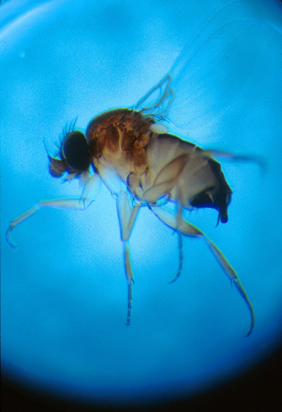 Close-up of a dead phorid fly : Free Stock Photo
