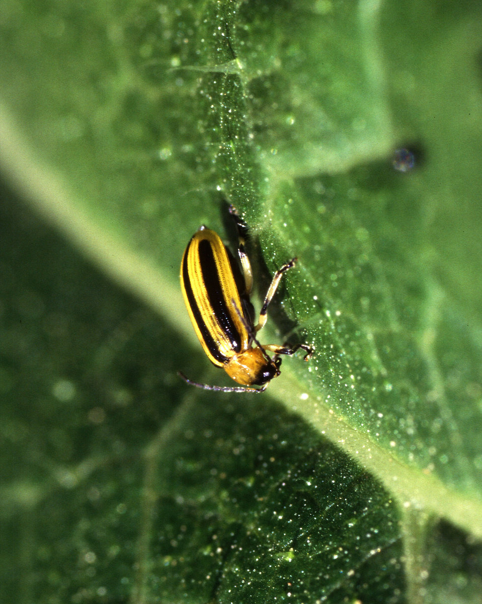 A yellow cucumber beetle : Free Stock Photo