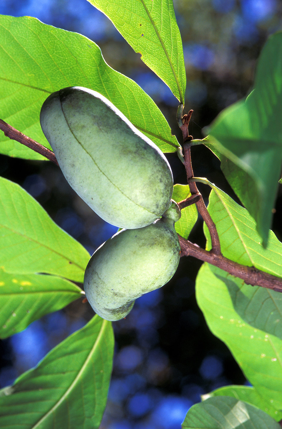 Pawpaw fruit growing on a tree : Free Stock Photo