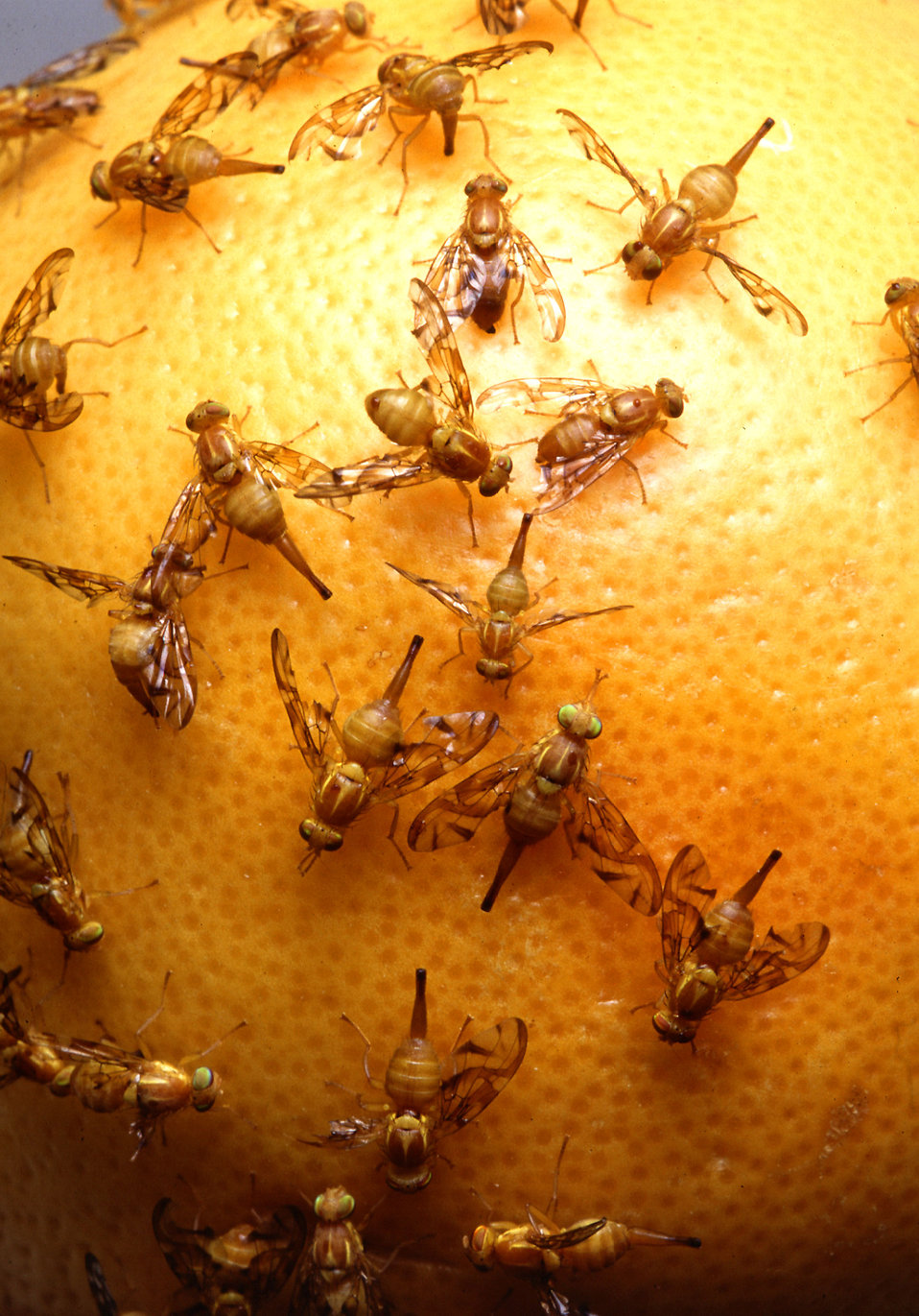 Mexican fruit flies laying eggs in a grapefruit : Free Stock Photo