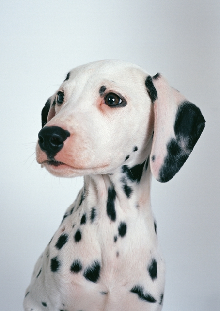 A dalmatian isolated on a white background.