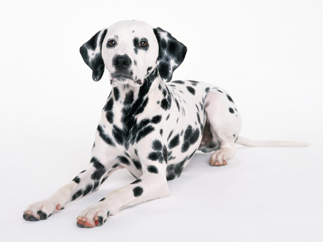A dalmatian isolated on a white background : Free Stock Photo