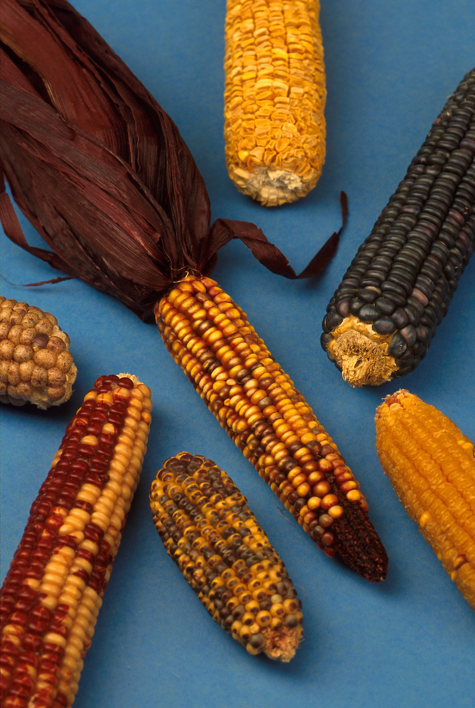 A variety of types of corn : Free Stock Photo