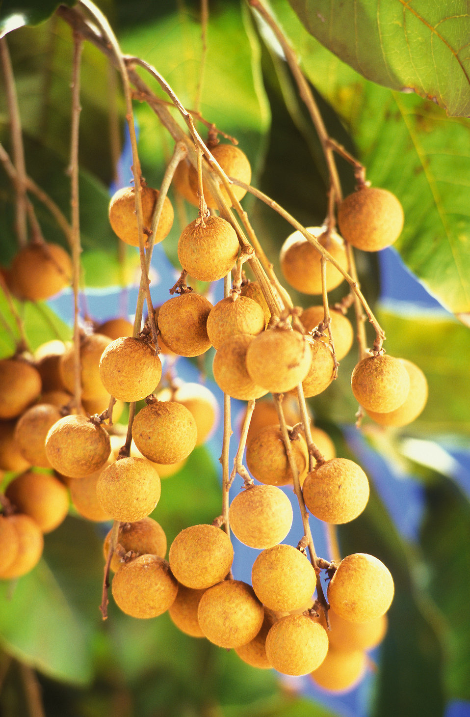 Longans (Dimocarpus longan) growning on a tree : Free Stock Photo