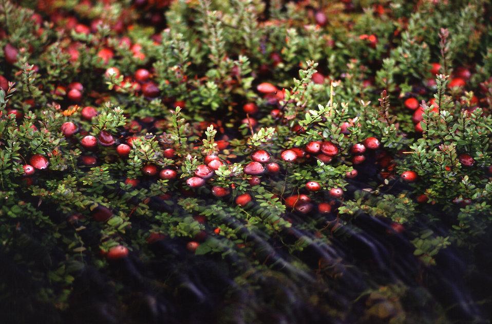 Cranberry Bog : Free Stock Photo
