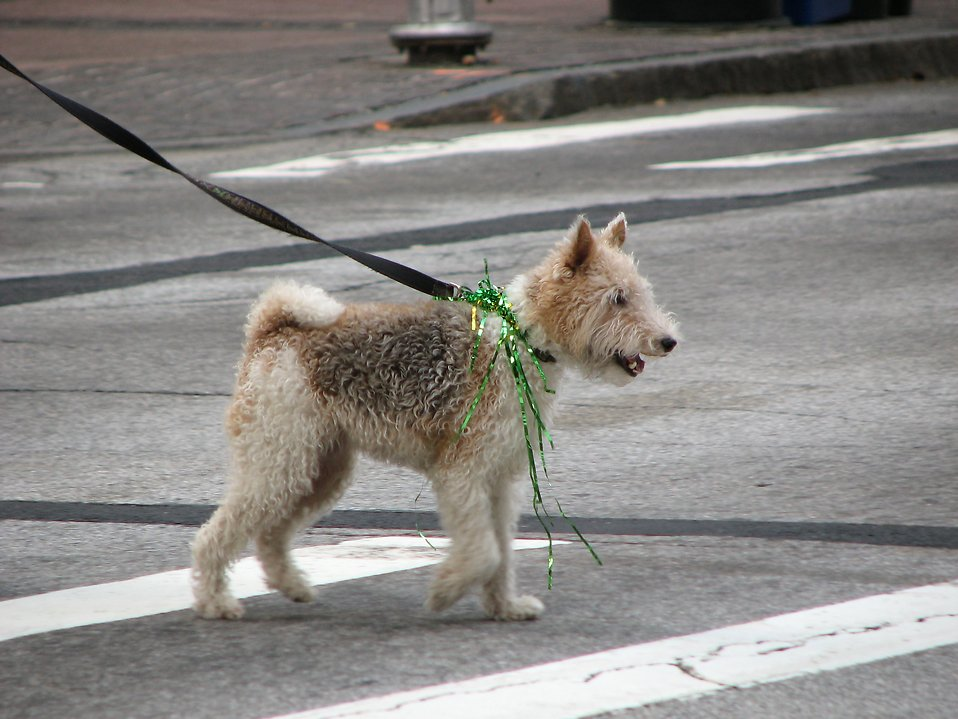 A dog on a leash with Saint Patricks Day decorations : Free Stock Photo