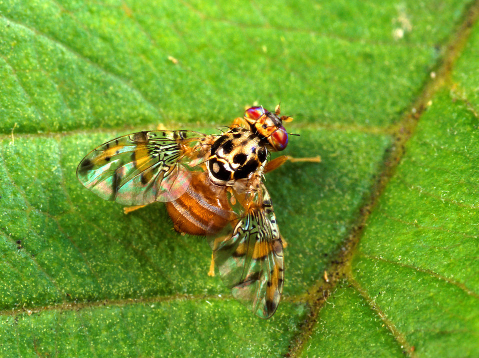 A male medfly on a leaf : Free Stock Photo