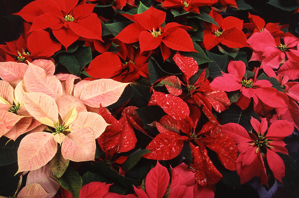 Red and pink poinsettias : Free Stock Photo