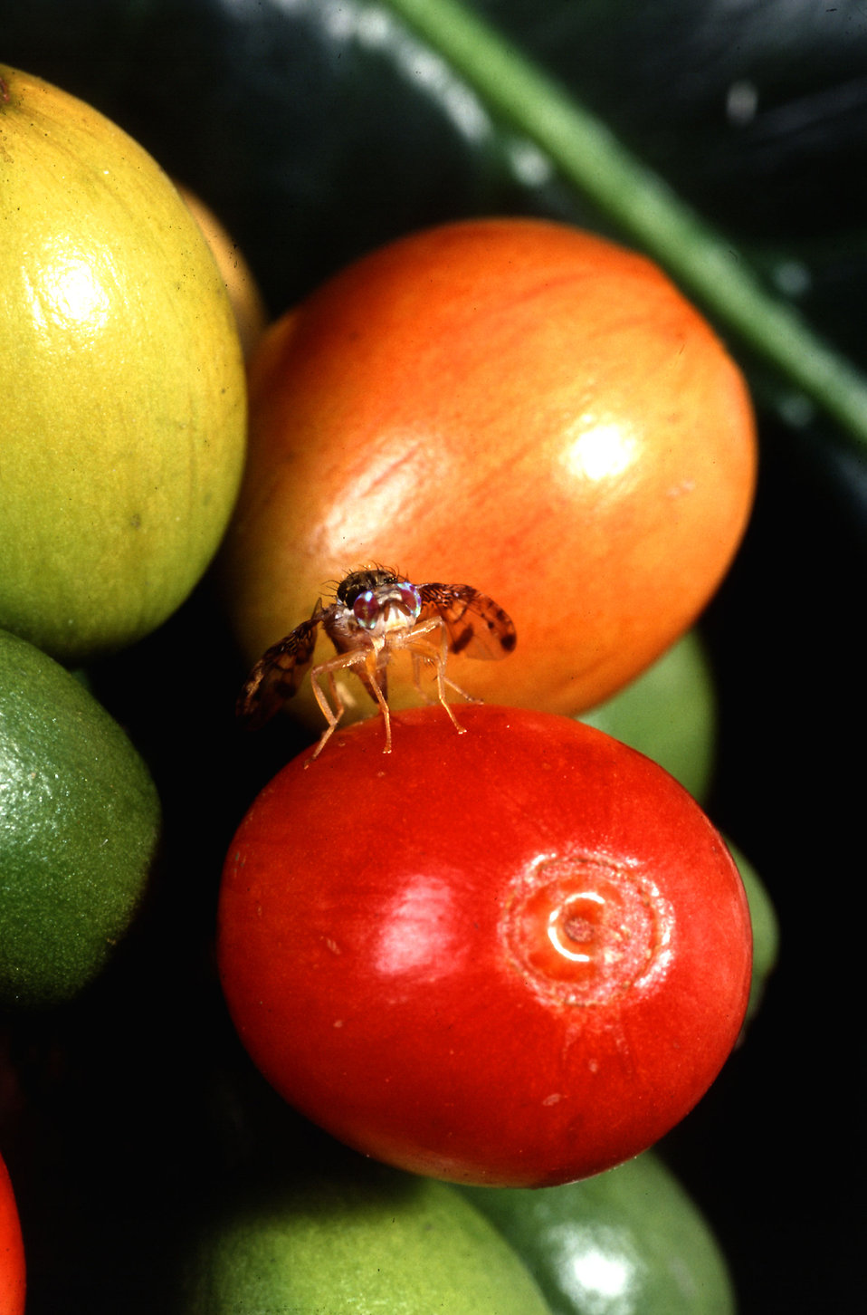A female medfly pumps eggs through her ovipositor into the soft outer layers of a ripe coffee berry : Free Stock Photo