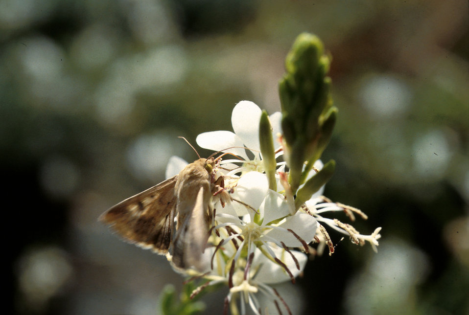 A corn earworm moth sips nectar from a night-blooming Gaura plant : Free Stock Photo
