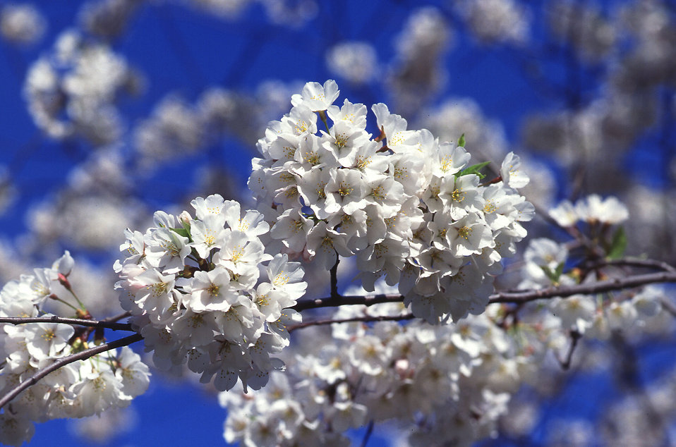 White cherry tree blossoms : Free Stock Photo