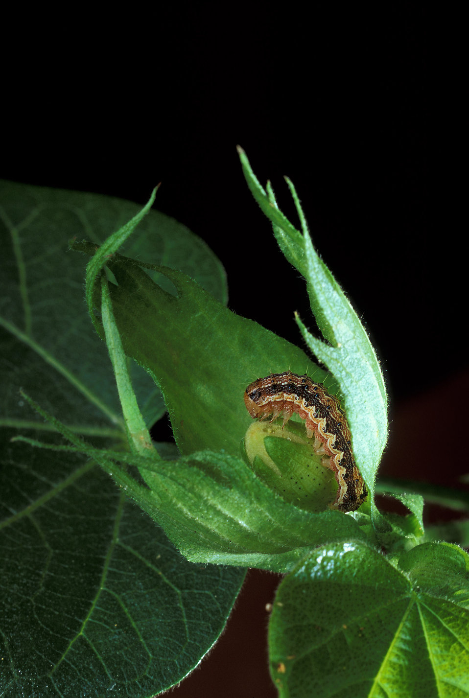 A cotton bollworm on a leaf : Free Stock Photo