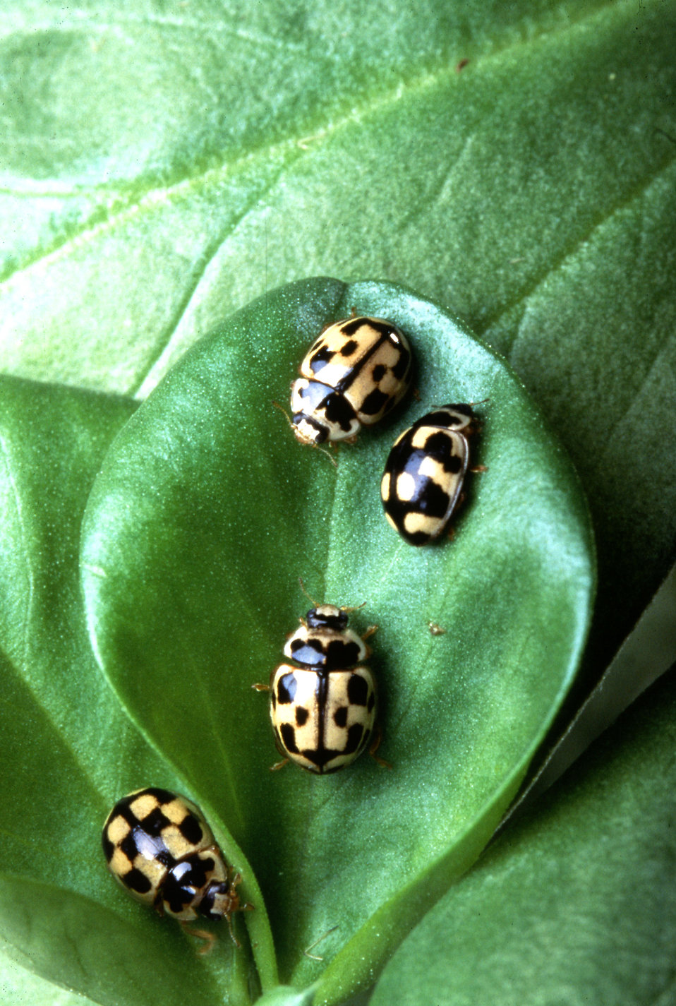 Ladybugs, Propylea quatuordecimpunctata, on a fava bean leaf : Free Stock Photo