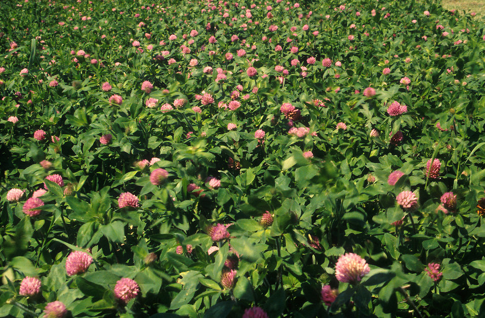 A field of red clovers : Free Stock Photo
