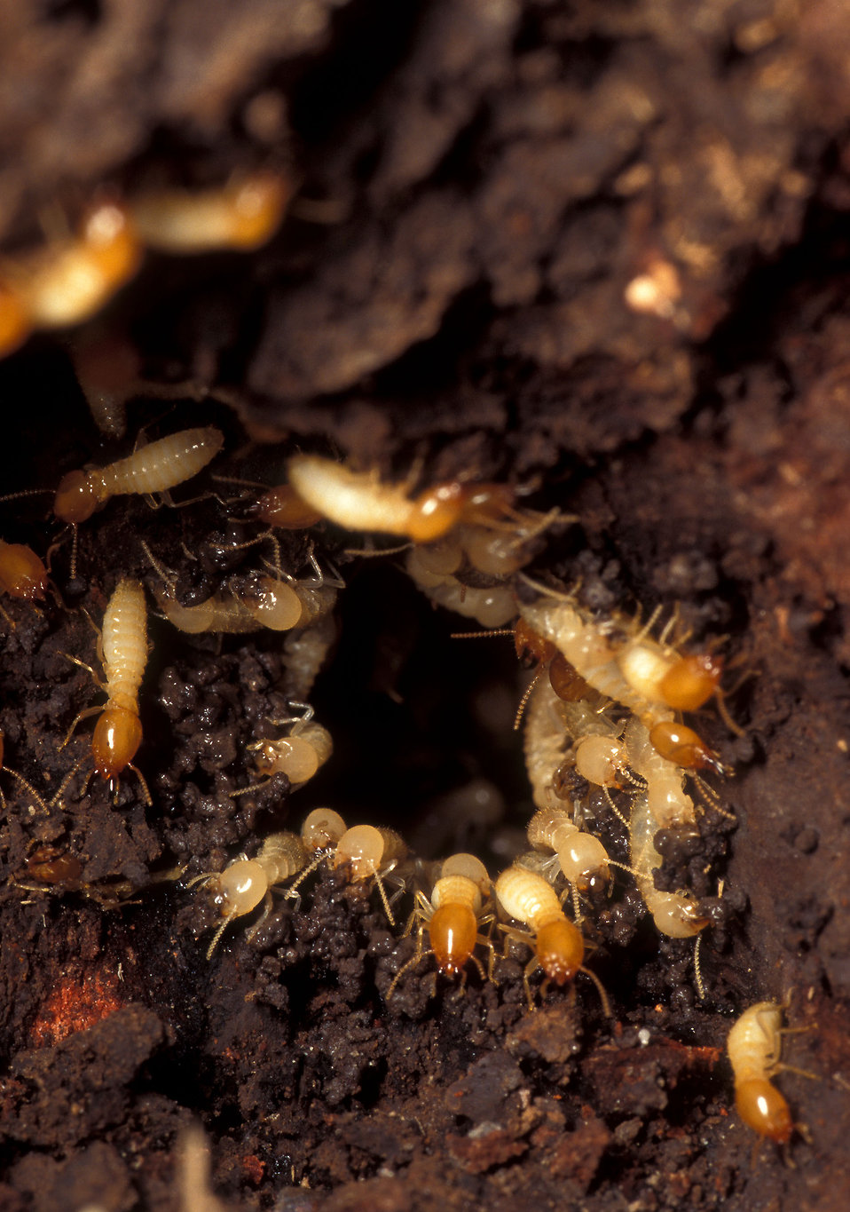 Formosan subterranean termites in a nest : Free Stock Photo