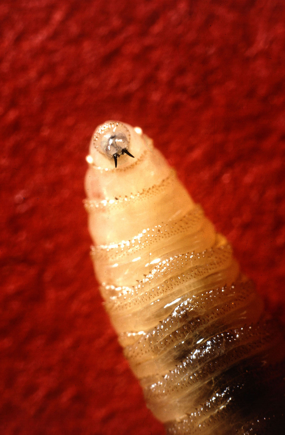 Tusklike mandibles protruding from the screwworm larva's mouth : Free Stock Photo
