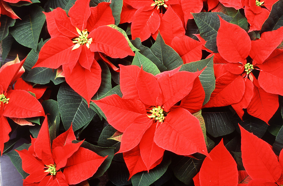 Red poinsettia flowers.
