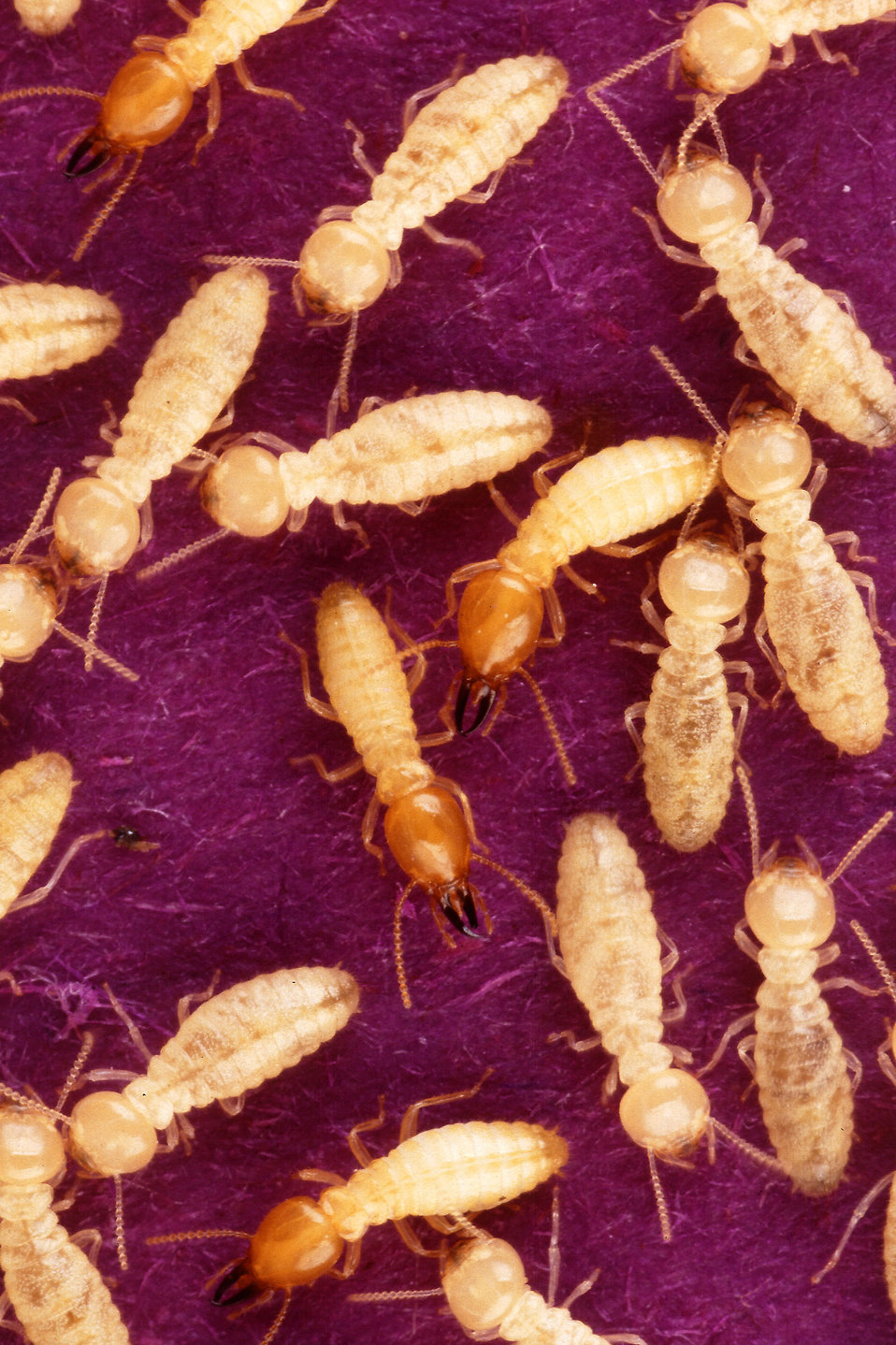 Formosan subterranean termites : Free Stock Photo