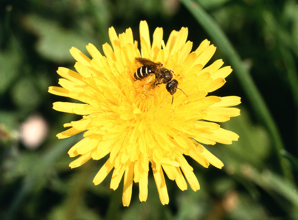 A bee on a dandelion : Free Stock Photo