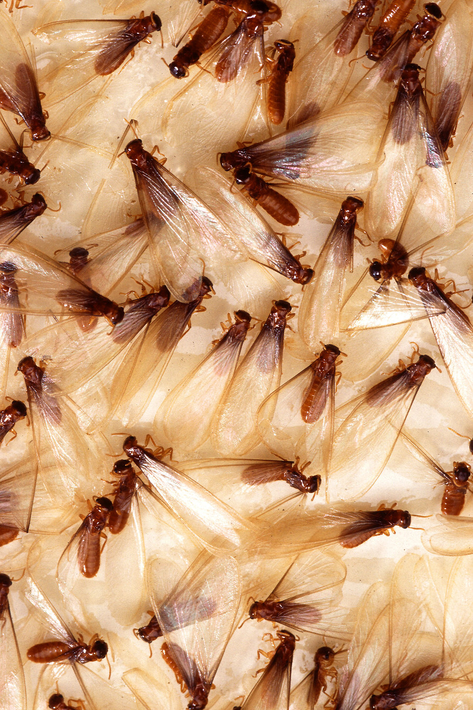 Fomosan termite alates : Free Stock Photo