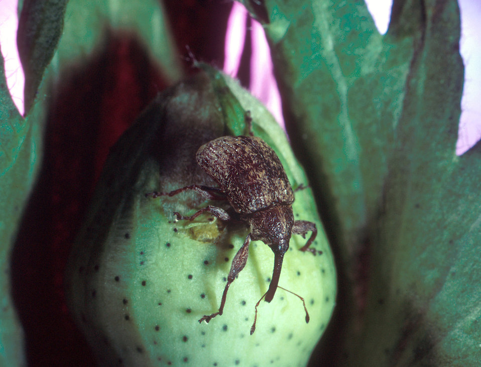 A cotton boll weevil : Free Stock Photo
