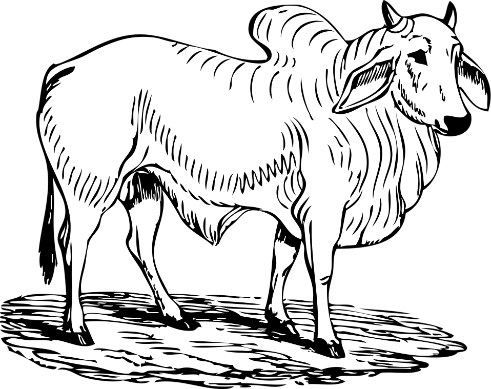 Illustration of a brahma bull : Free Stock Photo