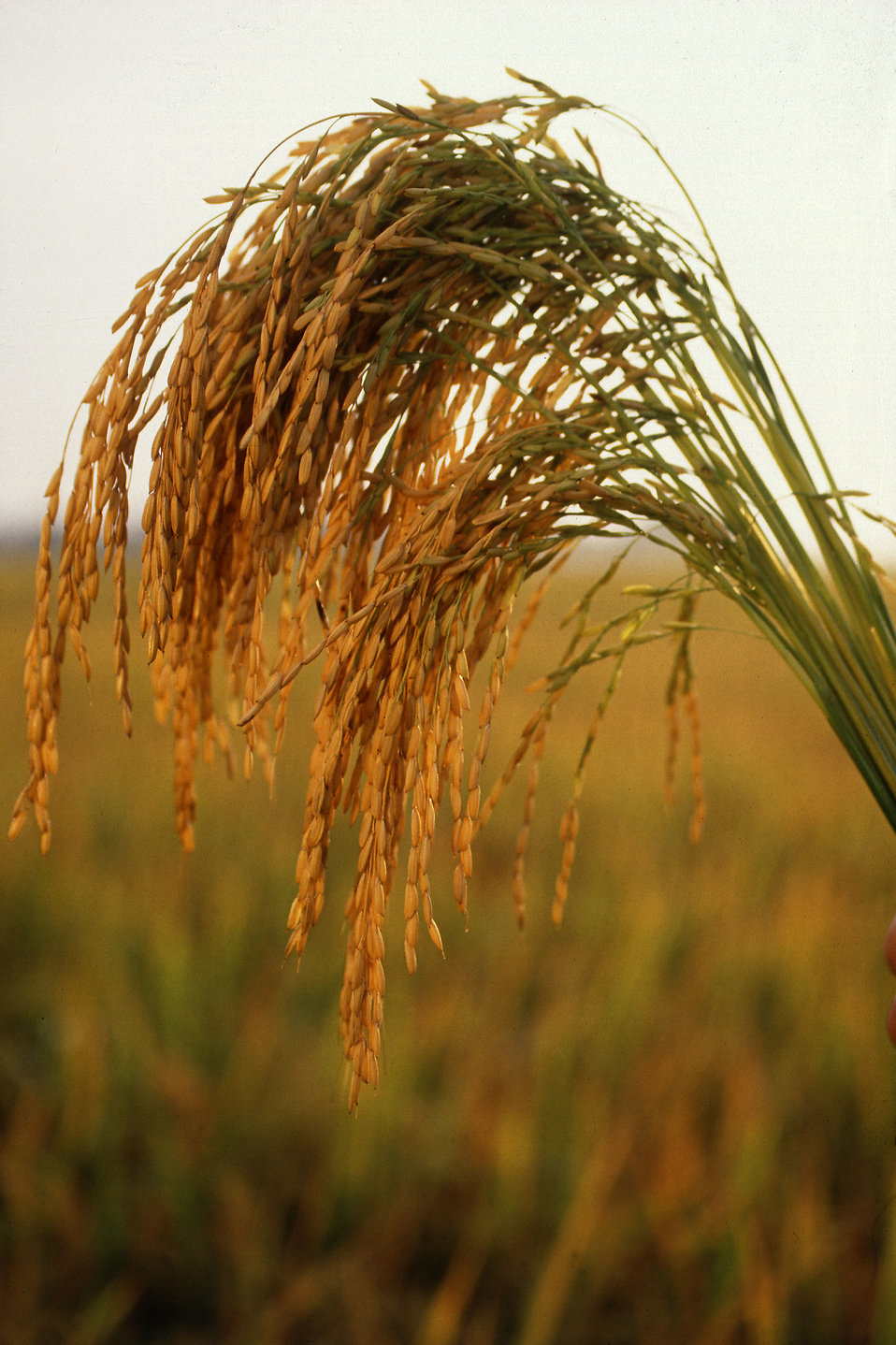 Close-up of long grain rice growing in a field : Free Stock Photo